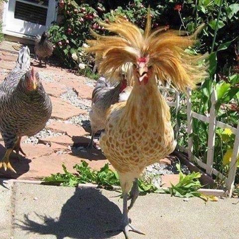 Crazy Chicken